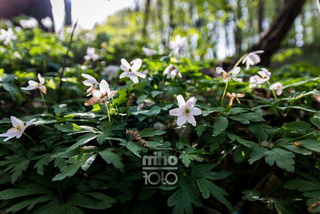 Buschwindröschen   Wood Anemone