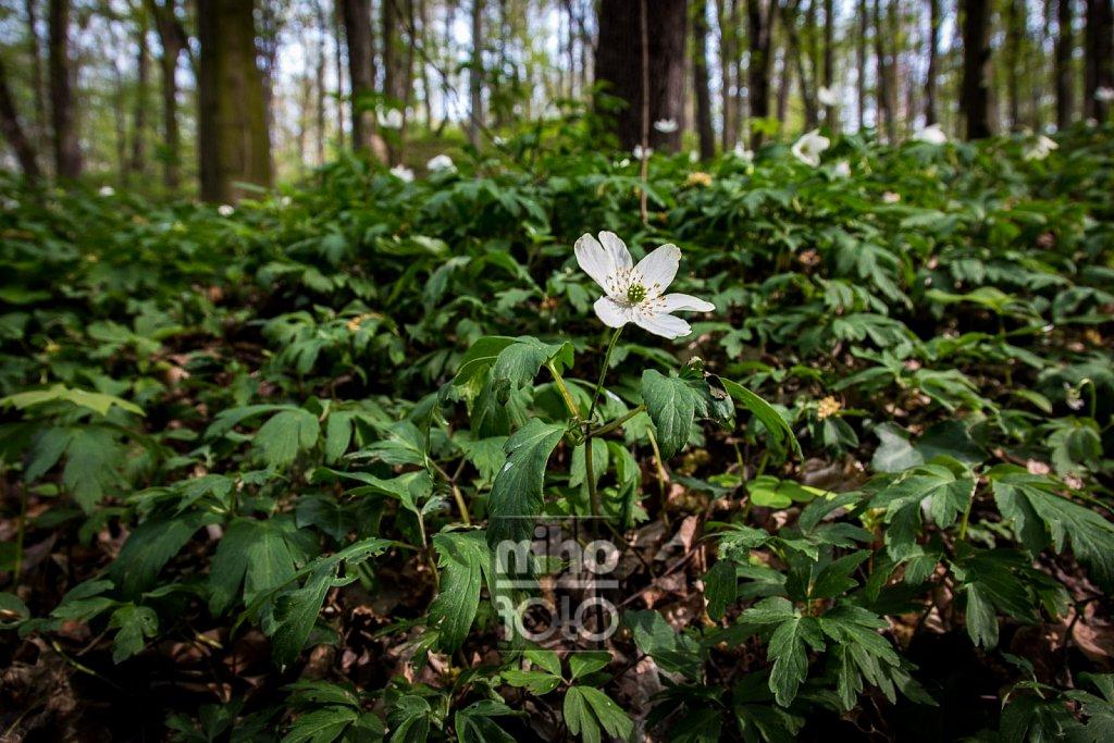 Buschwindröschen [2]   Wood Anemone [2]