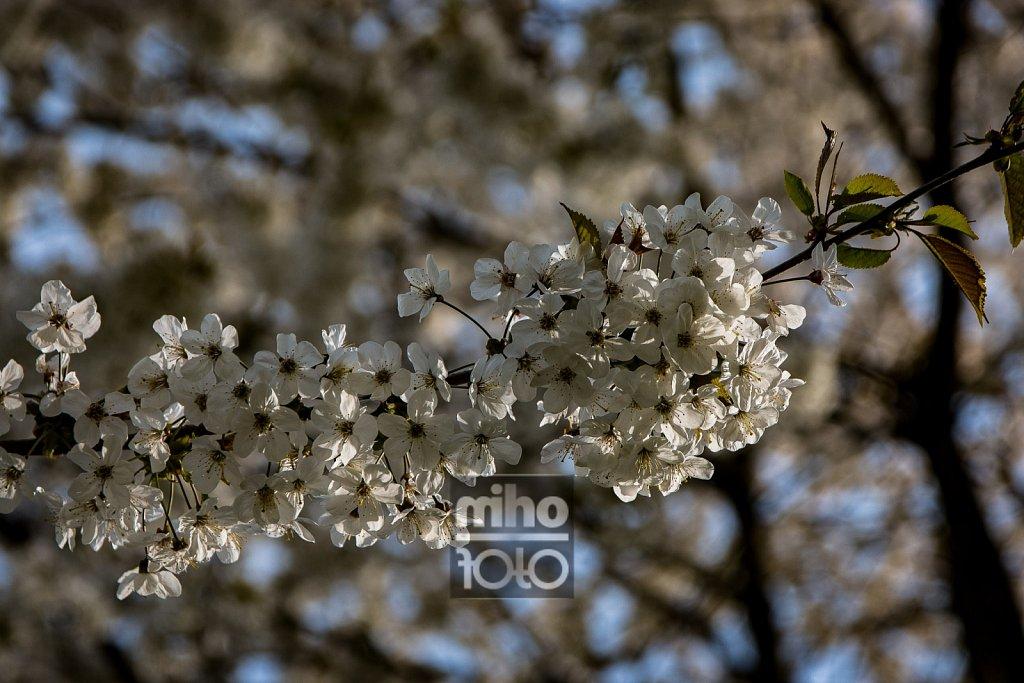 Kirschblüte   Cherry Blossom