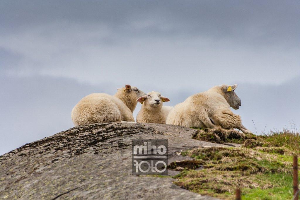 Eigerøy Sheep I