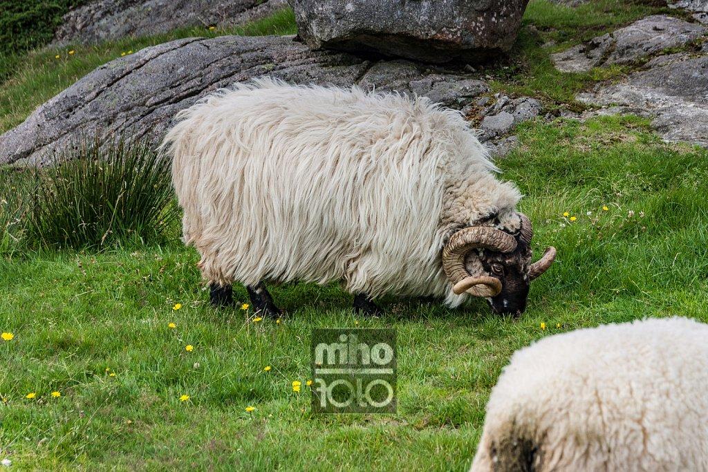 Eigerøy Sheep II