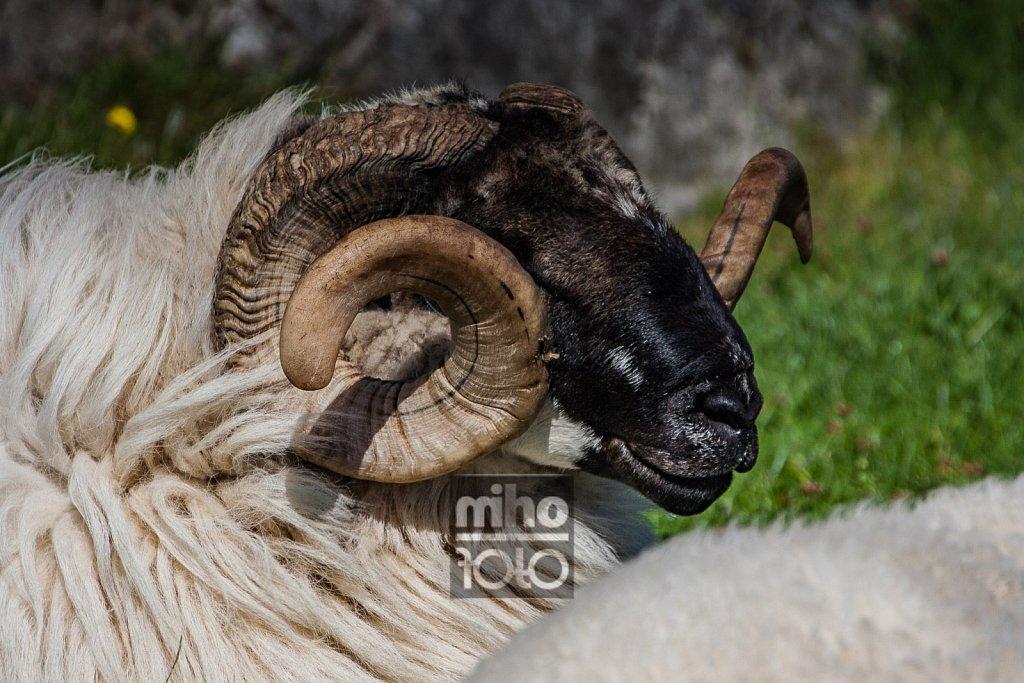 Eigerøy Sheep III
