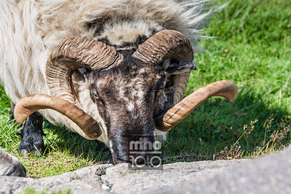 Eigerøy Sheep IV