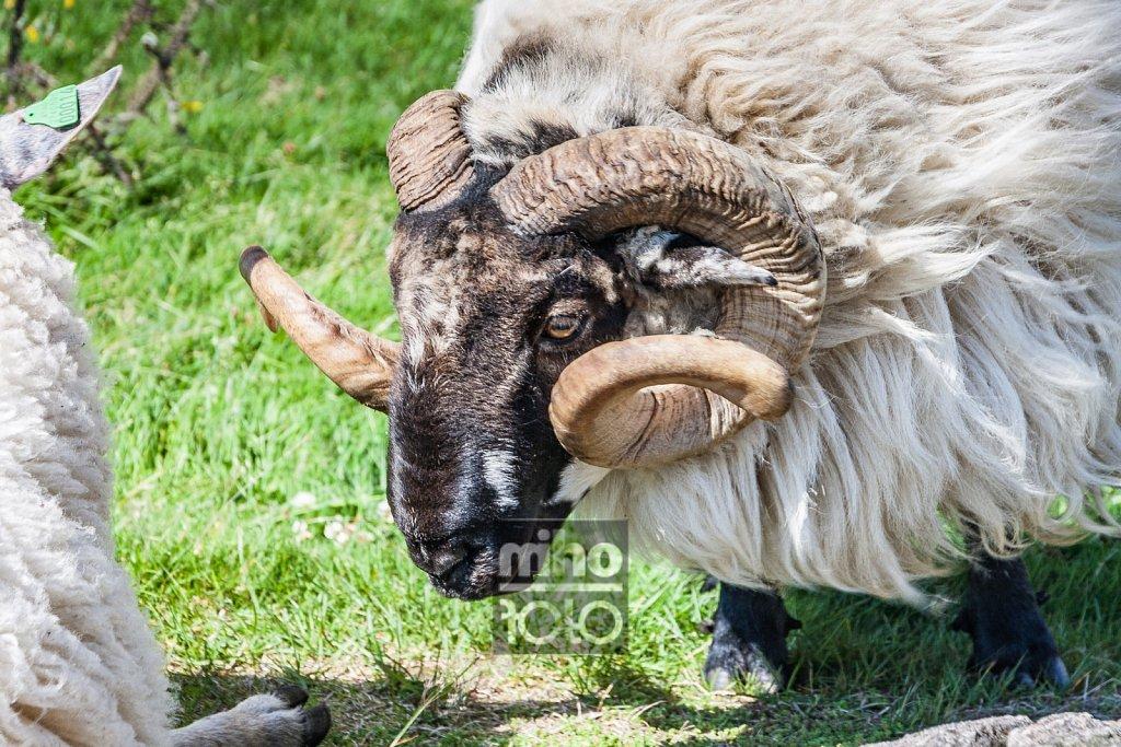 Eigerøy Sheep V