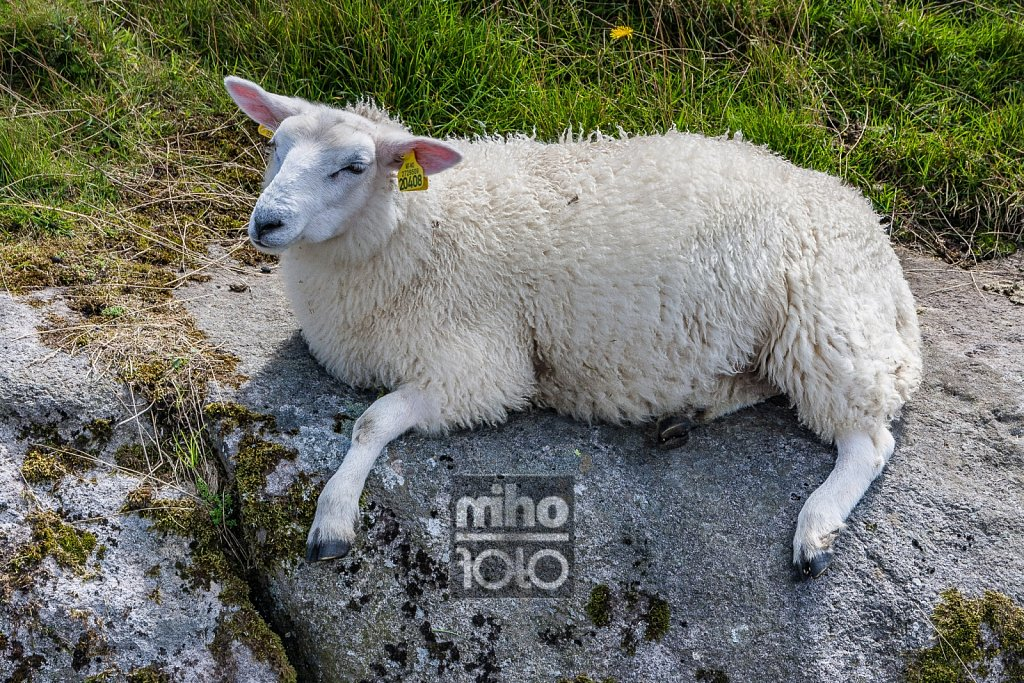 Eigerøy Sheep VI
